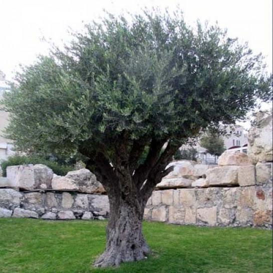 uit-de-buurt-van-de-olijfboom-foto-s-nb6426